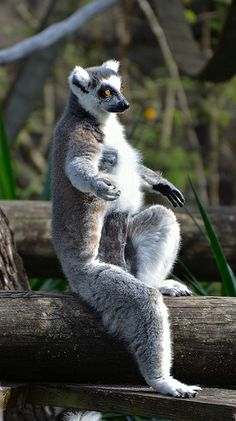 Ring-Tailed Lemur (a.k.a. Lemur Catta) really looks like he's hitchhiking!