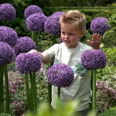 Allium Bulbs Gladiator from American Meadows, your trusted source for Allium Flower Bulbs.  We offer gardeners guaranteed Allium Bulbs Gladiator and all the information and confidence needed to succeed.