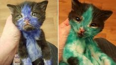 Abandoned Kittens Covered In Permanent Marker Get Their Very First Bath When United Kingdom-based cat shelter Bradford Cat Watch Rescue received a call from . Little Kittens, Kittens Cutest, Shrek, Animal Shelter, Animal Rescue, Animal Testing, Cat Watch, Kitten Rescue, Stop Animal Cruelty