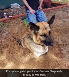Funny German Shepherd | How to plant a German Shepherd | Funny Stuff!