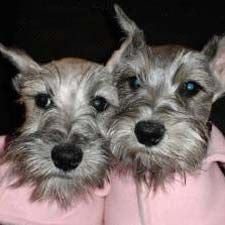 Google Image Result for http://a1.cdnsters.com/static/images/dogster/breeds/miniature_schnauzer.jpg