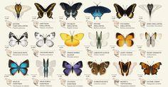 パタパタ動くよ!北米42種の蝶々図鑑