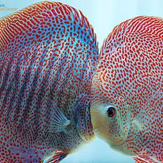 【europadiscuscenter】さんのInstagramをピンしています。 《Spots Spots Spots! Leopard Snakeskin Super Eruption ❤ #discus #diskus #diskusfische #aquarium #symphysodon #tropicalfish #discusfarm #discusfish #fish #discusbreeding  #fishfarm #fishtank #fishkeeper #freshwater #discushatchery #freshwaterfish #ディスカス #アクアリウム #魚 #水槽 #熱帯魚 #tropical #breeding #breedingfarm #cichlids #cichliden #cichlid #七彩神仙 #diskusfisch》