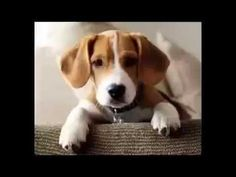 300 ways to say beagle - YouTube  Thanks to friends to Pinterest http://www.pinterest.com/elle1966/beagle/