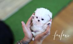 Welcome to FouFou Puppies. The Home of the World's Most Exquisite Teacup Maltese for Sale. Contact Us Today to Reserve Your Puppy! Ask for Our 'Special Order' Option. We Can Locate Your Dream Puppy! Teacup Maltese For Sale, Maltipoo Puppies For Sale, Cute Teacup Puppies, Cute Animals Puppies, Baby Puppies, Cute Dogs, Dogs And Puppies, Teacup Maltese Puppies, Fluffy Puppies