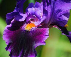 Purple And Orange Iris 4 Photograph