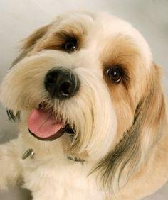 Milliken - one of my Tibetan Terriers. Please smile!