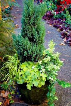 Evergreen: Blue Point juniper, false holly (osmanthus) Goshiki, ivy, heuchera Citronelle, hak grass All Gold by cecilia