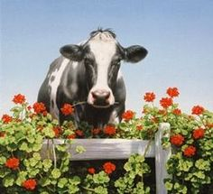 Holstein cow looking over a lovely flowering fence....
