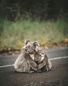 """Do you know the answer to the question: """"What do koalas eat?""""This article aims to cover important koala diet and feeding questions Australian Wildlife, Australian Animals, Cute Baby Animals, Animals And Pets, Funny Animals, Wild Animals, Funny Koala, Tier Fotos, Cute Animal Pictures"""