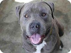 Los Angeles, CA - Pit Bull Terrier. Meet A1622112, a dog for adoption. http://www.adoptapet.com/pet/15379134-los-angeles-california-pit-bull-terrier
