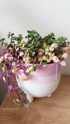 Plants Indoor, Indoor Garden, Window Plants, Plant Propagation, Pink Bubbles, Pink Houses, Terrariums, Hanging Planters, Plant Decor