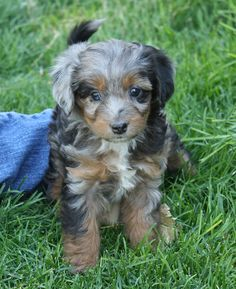 Mini AussieDoodle! Isn't she cute.Want one of these.