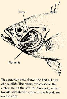 Fish bone anatomy