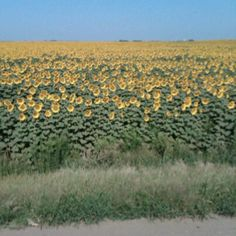 Sunflowers  WaKeeney KS