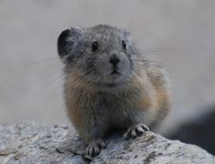 Is there anything cuter than a pika?