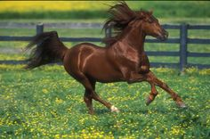 "Kentucky Mountain Horse chestnut stallion ""Cherry Blossom"""