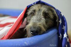 Tommy dei Mangialupi #animals #dogs #irishwolfhound