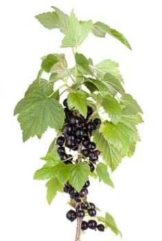 Pure Black Currant Oil 15% GLA