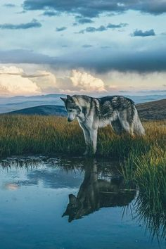 I like this picture because it shows the cool shadow of the wolf in the water. Fun fact: wolf is one of my favorite animals. Nature Animals, Animals And Pets, Cute Animals, Funny Animals, Forest Animals, Wild Animals, Unique Animals, Beautiful Creatures, Animals Beautiful