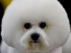 A Bichon Frise waits in the grooming area in New York during the first day of competition at the Westminster Kennel Club 140th Annual Dog Show.  Timothy A. Clary, AFP/Getty Images
