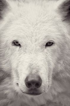 White Wolf by Dan Newcomb Photography, via Flickr