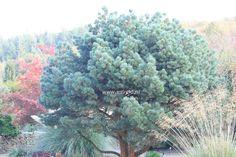 """Сосна обыкновенная """"Шантри Блю""""Pinus sylvestris 'Chantry Blue'Отличается густой широковетвистой кроной с мягкой голубовато-зеленой, длинной хвоей, собранной в пучках по 5 штук, и красивыми узкоцилиндрическими шишками.Н2 м, Ш кроны до 1 м.Побеги коричневые, вертикальные. В период цветения появляются очень яркие оранжевые свечи. Хвоя длинная, насыщенно голубого цвета Mорозостойка. Светолюбива.К почвам малотребовательна. Выдерживает засуху и отсутствие полива. Устойчива к болезням и вредителям."""