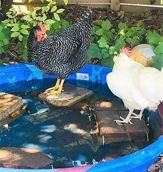 Cute Chicken Coops, Chicken Coop Run, Chicken Garden, Chicken Coop Designs, Backyard Chicken Coops, Inside Chicken Coop, Chicken Waterer, Raising Backyard Chickens, Cute Chickens