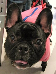Mr. Genta, French Bulldog