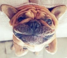 """""""What'cha doin'?"""", Nosey Upside Down French Bulldog❤❤"""