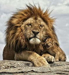 """beautiful-wildlife: """"Father and Son by Martina Neumann Nestled under the magnificent mane of his father, the little lion cub gives a growl so gentle it would fail to startle a passing gazelle. But when he grows up he'll be able to roar just like. Animals And Pets, Baby Animals, Funny Animals, Cute Animals, Wild Animals, Beautiful Cats, Animals Beautiful, Simply Beautiful, Beautiful Pictures"""