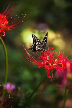 This butterfly blends in with these beautiful flowers