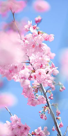 Sakura Vertical Photography Picture Romantic Cherry Blossom Spring Phone Wallpaper
