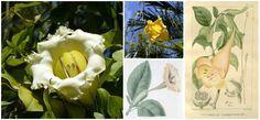 Solandra (Goldkelch) – Entdeckt die starken Effekte dieser Pflanze