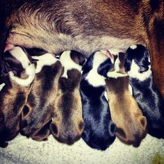 How orderly! Little puppies lined up in a row looking to get a full belly. So cute! #bostonterrier