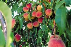 Fertilizing Peach Trees: Learn About Fertilizer For Peach Trees - Home grown peaches are a treat. And one way to ensure you get the best peaches possible from your tree is to make sure you are properly using fertilizer for peach trees. Get peach fertilizing tips in this article.