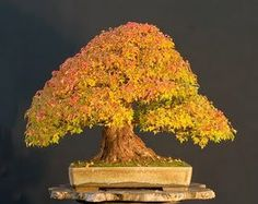 The worlds most famous Walter Pall's Trident Maple Bonsai, which won AOB Awards 2009 Grand Prize.