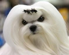 are maltese dogs hypoallergenic hairs