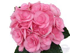 "Cut hydrangea flower ""Papillon"" (Pink) Hydrangea Flower, Hydrangeas, Hydrangea Macrophylla, Flower Power, Fingers, Garden, Floral, Plants, Pink"