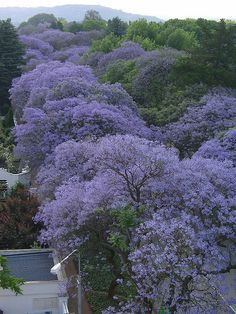 Jacaranda - so beautiful too in the Eastern states of Australia. When I drive through a street lined with jacarandas is soo beautiful I slow down to enjoy it