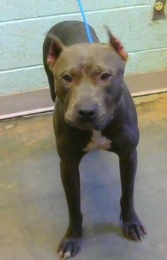 Jubilee is an adoptable Pit Bull Terrier searching for a forever family near Decatur, GA. Use Petfinder to find adoptable pets in your area.