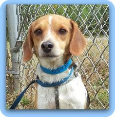 URGENT!!!!!! Act quickly to adopt NELSON. Pets at this Shelter may be held for only a short time.Marietta, GA - Beagle. Meet NELSON a Dog for Adoption.