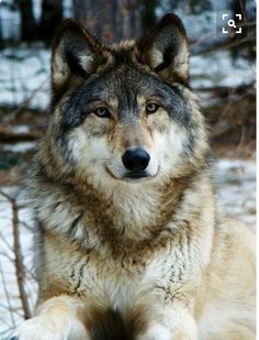 What a Handsome Wolf.