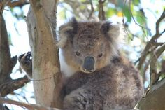 French Island has so many koalas that some need to be removed to habitat on the mainland.