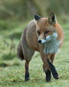 Red Fox by Stuart G Wright