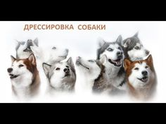 """Дрессировка собаки.  Команда """" Рядом """" """"."""