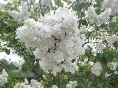 Blühender weißer Flieder