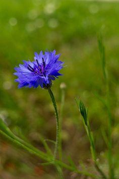 blue cornflower tattoo - Google Search