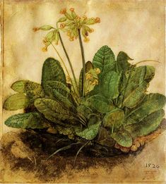 Albrecht Dürer 'Tuft of Cowslips' or 'Primula' 1526. (gouache on vellum, by Plum leaves on Flickr)