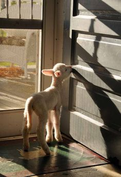 a lamb at the door